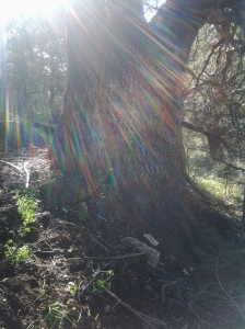 Rainbow Juniper