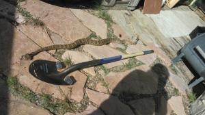 7.29.19 Rattlesnake1